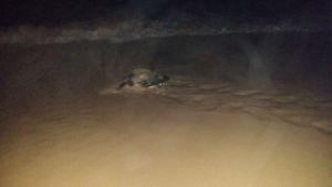 schildkroete geht nach der Eiablage zurück ins Meer