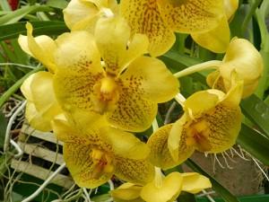 Botanischer Garten Kandy: Orchidee