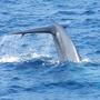 Während einer Walsafari von Mirissa aus zeigt uns ein Wal seine Fluke