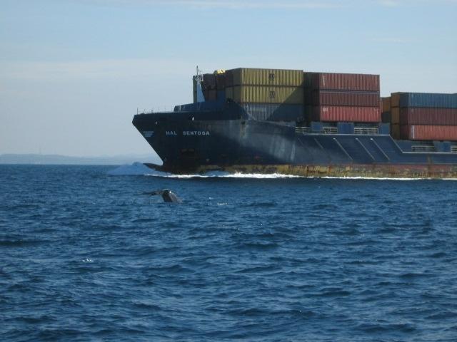 Wal schwimmt zwischen uns und Containerschiff