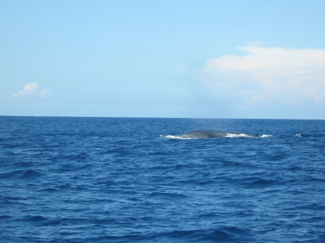 Walbeobachtung Whale watching in Sri Lanka