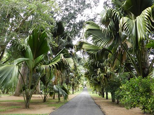 Botanischer Garten Kandy: Palmenallee