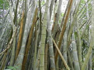 bambus- kandy Botanischer Garten