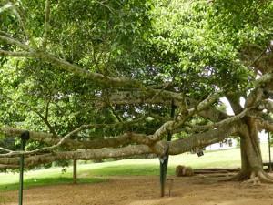 Top Botanischer Garten Kandy: Ficus Benjamina