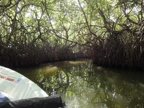 Flussfahrt Ein Dach aus Mangroven im Madu River